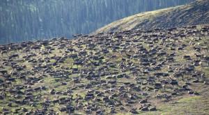caribou-hill